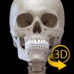 Скелет | 3D Анатомии