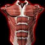 Мышечная система в 3D (анатомия)